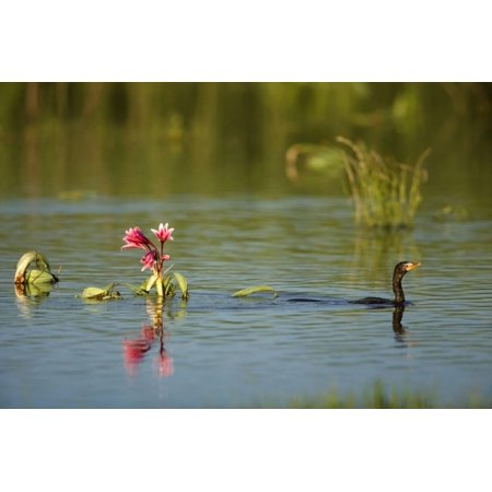 Crinum Lily (Reed Cormorant and Crinum Lily, South Africa Print Wall Art By Richard Du)