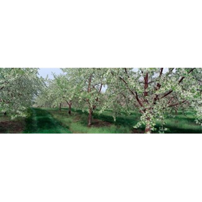 Panoramic Images PPI68288L View of spring blossoms on cherry trees Poster Print by Panoramic Images - 36 x 12 - image 1 of 1