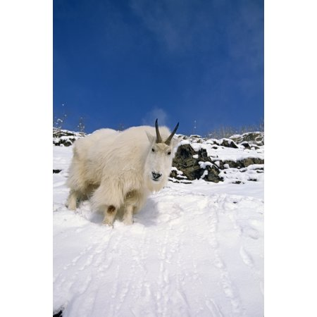 Mountain Goat Billy On High Mountain Slope In Snow Chugach National Forest Kenai Peninsula Ak Spring Stretched Canvas - Tom Soucek  Design Pics (11 x 17) ()