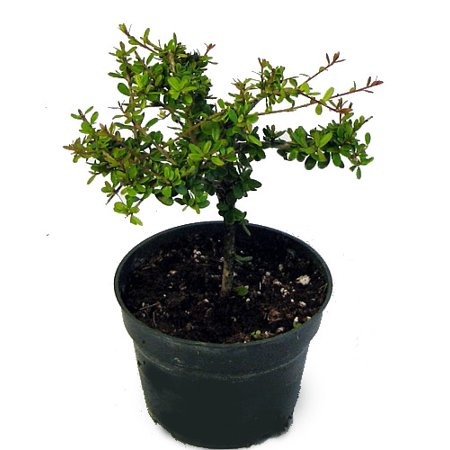 "Nia Bonsai Starter Tree - Neea buxifolia - Easy to Grow - 4"" Pot"