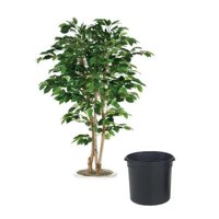 7 ft. Green Ficus Tree in Black Plastic Nursery Liner
