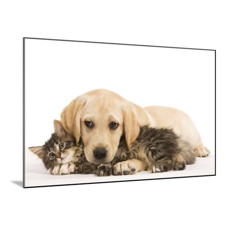Cat and Dog Labrador Puppy and Norwegian Forest Cat Kitten Wood Mounted Print Wall Art
