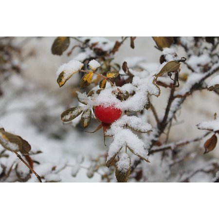 Canvas Print Red Berries Rose Hip The First Snow Stretched Canvas 10 x 14 Rose Hip Berry
