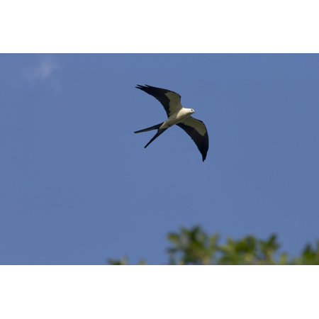 Swallow-Tailed Kite in Flight, Kissimmee Preserve SP, Florida Print Wall Art By Maresa Pryor