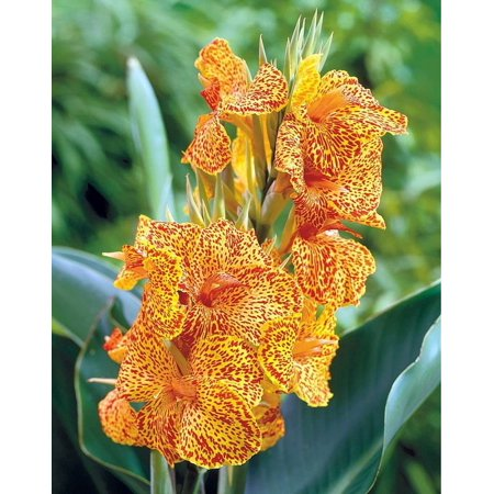 Dwarf Picasso Canna Rhizome - 2/3 eyes - Bright Yellow and Red