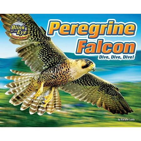Peregrine Falcon : Dive, Dive, Dive! (A Peregrine Falcon Dives At A Pigeon)