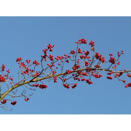 Canvas Print Red Tree Berries Berry Red Fruits Stretched Canvas 10 x 14