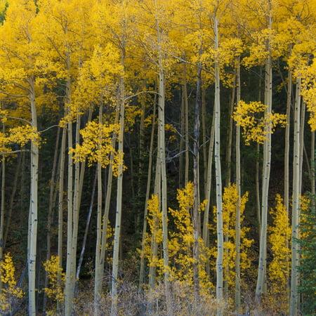 Autumn Aspens Along Cottonwood Pass, Rocky Mountains, Colorado,USA Print Wall Art By Anna Miller