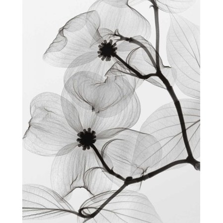 Dogwood Blossoms Poster Print by Steven N (Dogwood Mall)
