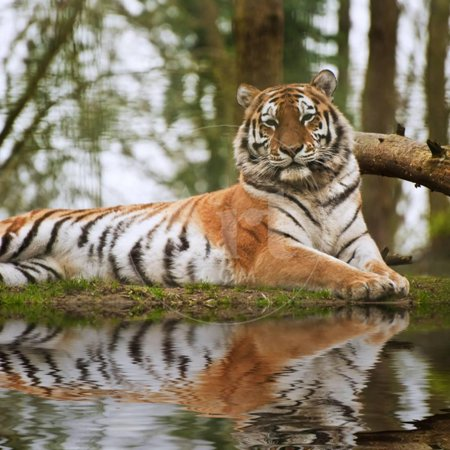Stunning close up Image of Tiger Relaxing on Warm Day Reflection in Water Print Wall Art By Veneratio