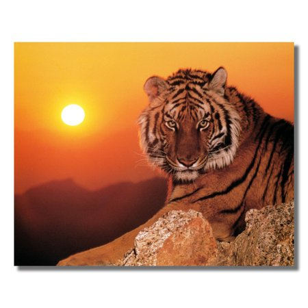 Tiger Laying on Rock at Sunset Close Up Photo Wall Picture 8x10 Art Print