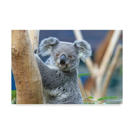 Trademark Fine Art 'Koala Look' Canvas Art by Beata Czyzowska Young