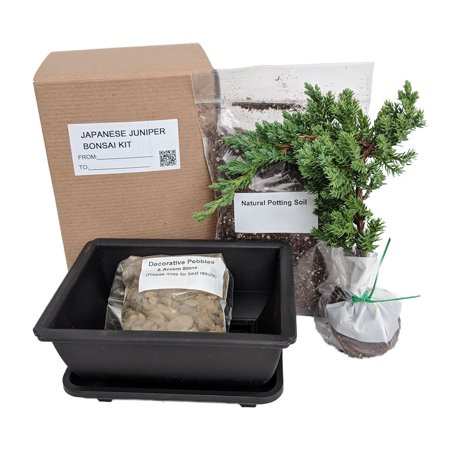 My First Bonsai Tree Kit plus Live Japanese Juniper (Best Trees For Bonsai Forest)