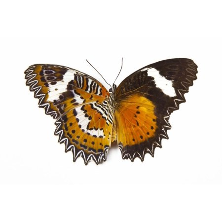 The Leopard Lacewing Butterfly, Comparing the Top and Bottom Wings Print Wall Art By Darrell Gulin