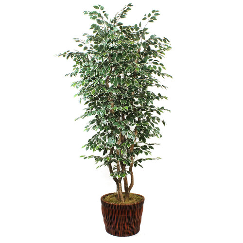 DalMarko Variegated Ficus Tree in Basket