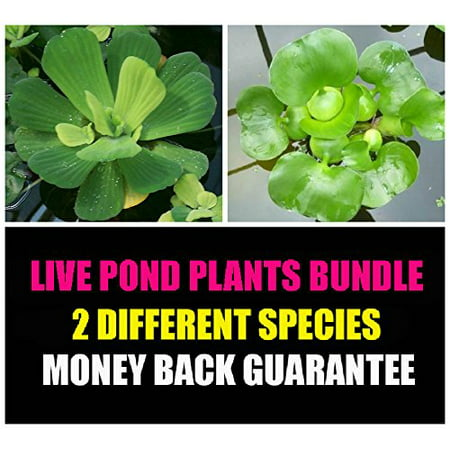 Water Lettuce and Water Hyancinth Bundle - 6 Floating Live Pond Plants