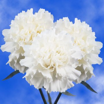 globalrose 200 carnations white carnation flowers wholesale bulk