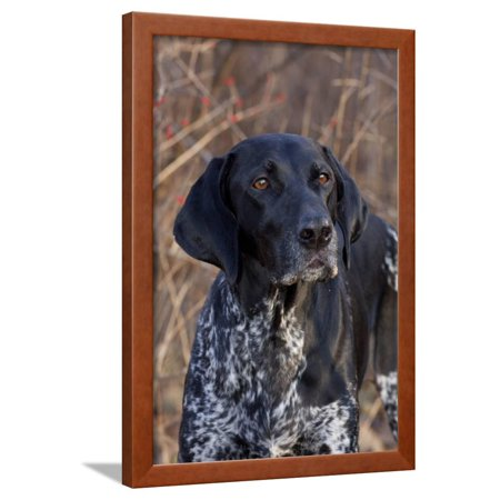 Portrait of German Shorthair Pointer Standing by Bush with Red Berries in Late November Framed Print Wall Art By Lynn M. - Standing Portrait