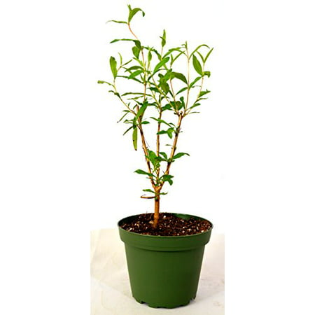 9GreenBox - Wonderful Pomegranate Tree very sweet ()