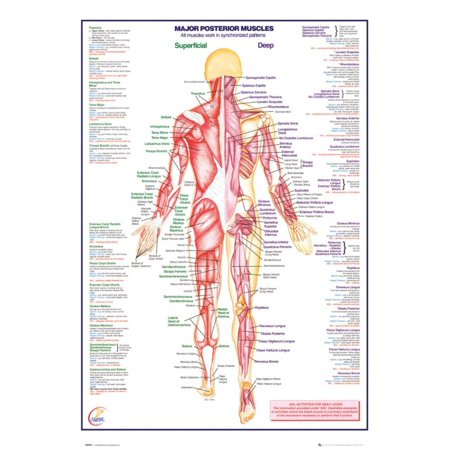 Human Body Major Posterior Muscles Poster - 24x36