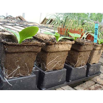 Cow Pots - Environmentally Friendly Made from 100% Composted Cow Manure - 4