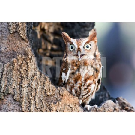- Eastern Screech Owls are Found in Two Color Phases: Red and Gray. They are Small Tufted Owls That Print Wall Art By actionsports