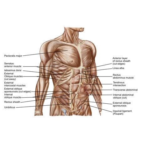 Anatomy Of Human Abdominal Muscles Canvas Art Stocktrek Images 17