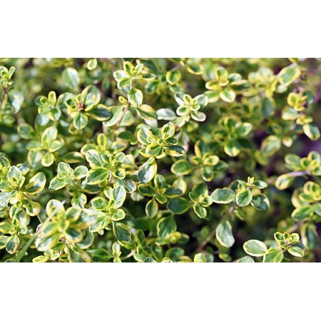 - Gold Edged Thyme- Live Plant - Lemon Scent & Bright Golden-Edged Leaves - 3