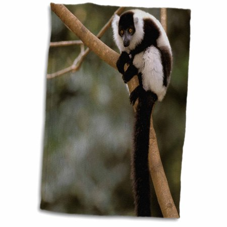 3dRose Madagascar, Black and white ruffed lemur primate-AF24 POX0078 - Pete Oxford - Towel, 15 by 22-inch