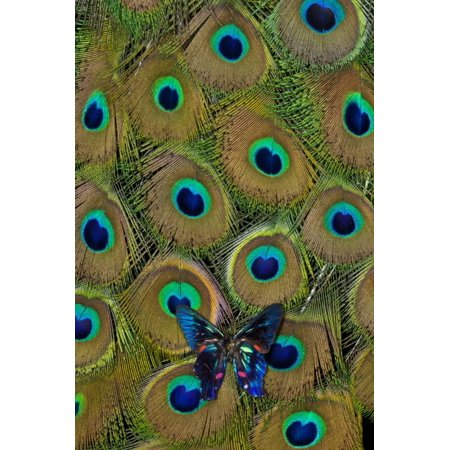 Meliboeus Swordtail Butterfly on Peacock Tail Feather Design Print Wall Art By Darrell