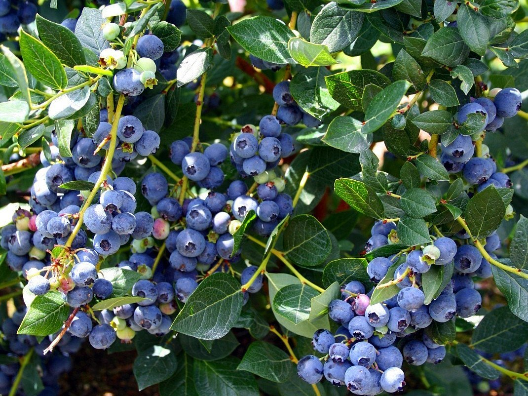 Image result for blueberries""