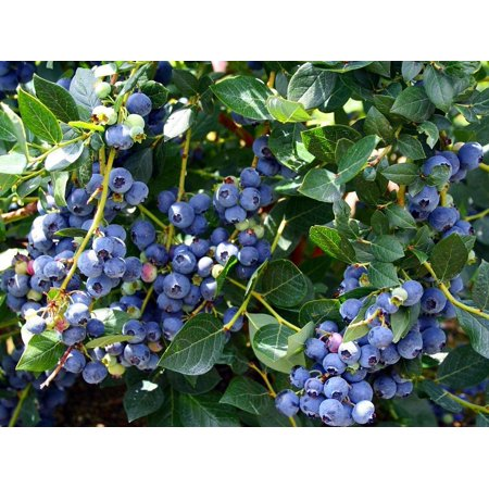 Top Hat Dwarf Blueberry Plant - Bonsai/Patio/Outdoors - 4