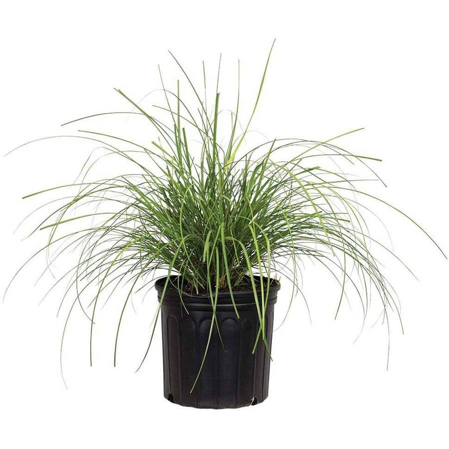 Image of Adagio Maiden Grass, Miscanthus sinensis, Live Plants