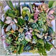40 Premium Beautiful Succulent Cuttings Collection