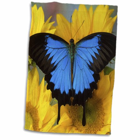 3dRose Australian Mountain Blue Swallowtail Butterfly on sunflower - Towel, 15 by 22-inch