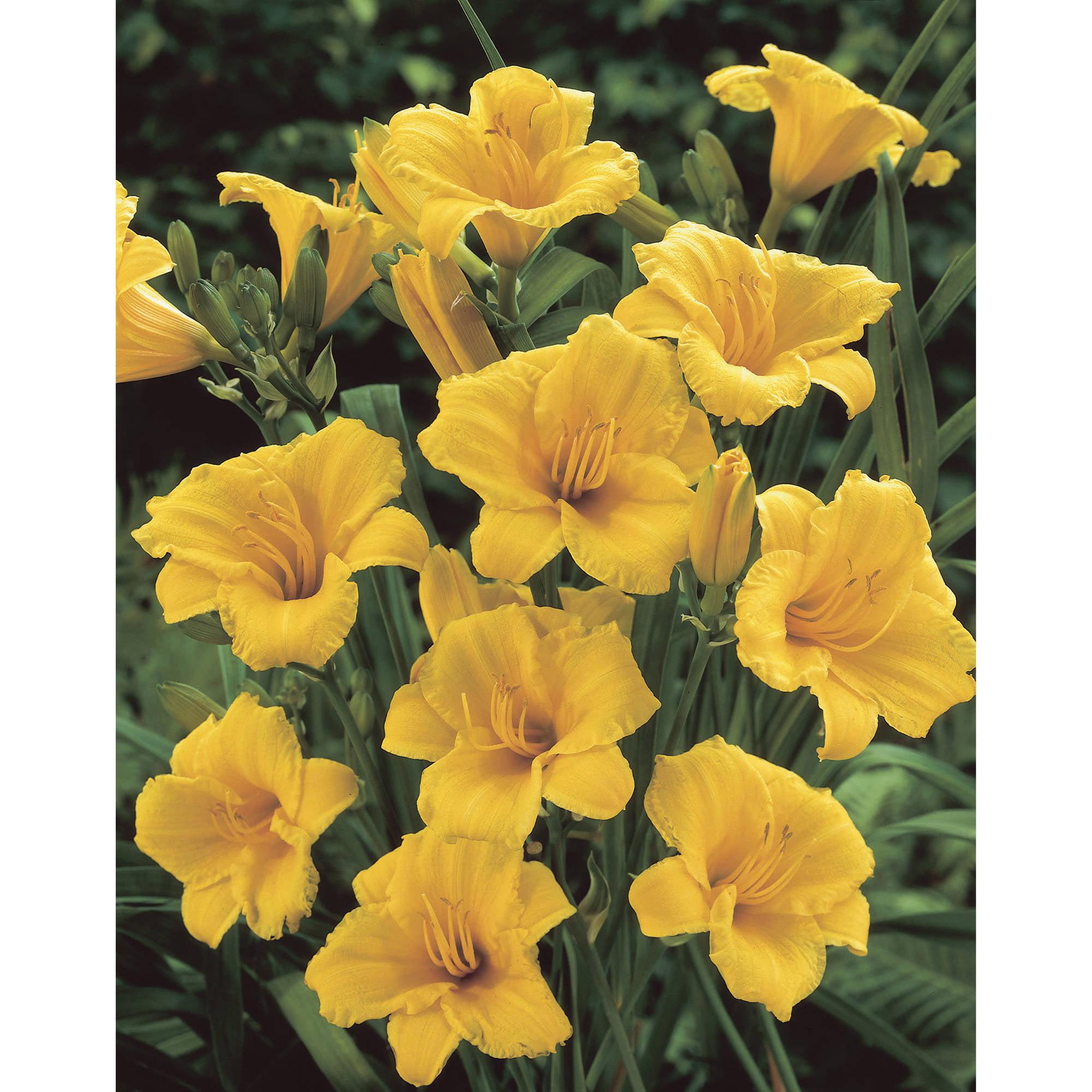 Bloomsz Daylily Stella Doro Flower Bulb Walmart