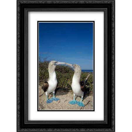 Blue-footed Booby pair in courtship dance, Galapagos Islands, Ecuador 2x Matted 18x24 Black Ornate Framed Art Print by De Roy, Tui
