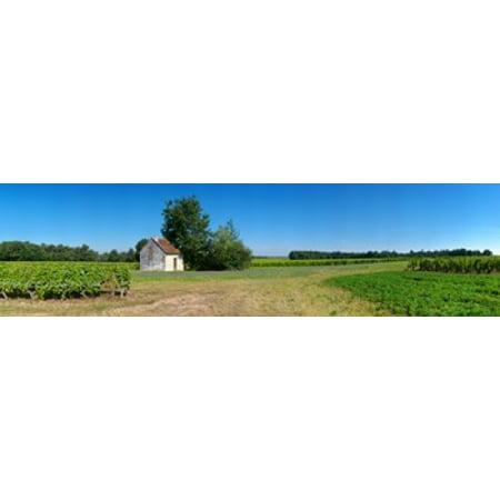 - Sauvignon Blanc vineyard Pouille Loire-Et-Cher Loire Valley France Stretched Canvas - Panoramic Images (21 x 6)