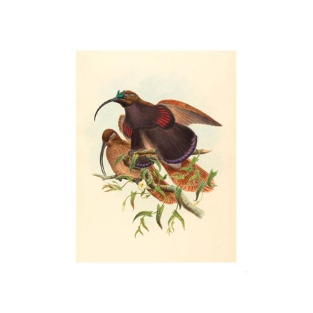 Drepanornis Albertisi (Black-Billed Sicklebill Bird of Paradise), Colored Lithograph Print Wall Art By Gould & Hart