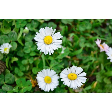 (Laminated Poster Green Field Daisy Plant White Flower Beautiful Poster Print 24 x 36)