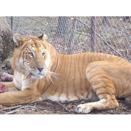 Point Hybrid (Laminated Poster Liger Lion Tiger Hybrid Tiglon Feline Big Cat Poster Print 24 x 36)