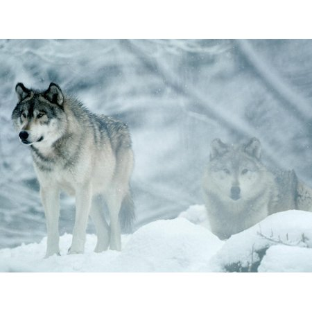 Gray Wolves Standing in Snowstorm Print Wall Art By Lynn M. Stone ()
