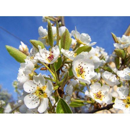LAMINATED POSTER Fruit Tree Spring Flowering Pear Tree White Flower Poster Print 11 x - White Flowering Tree