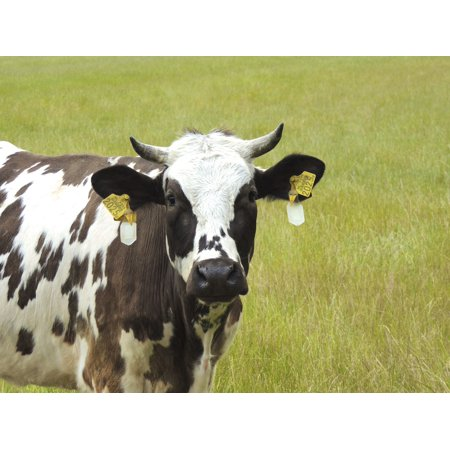 LAMINATED POSTER Cow Meadow Portrait Animal Horns Face Close Pet Poster Print 24 x 36