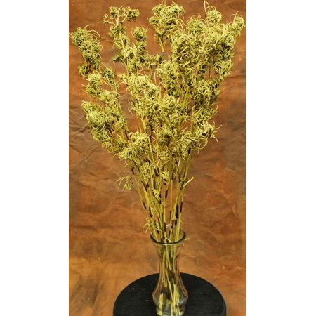 Light green Dried Chinese Puzzle Branches 28-30in. Long 1 bunch shown / about 10-12 stems -- Case of 12