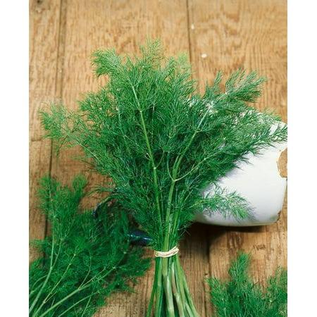 The Dirty Gardener Anethum Graveolens Dill - 50 Seeds ()