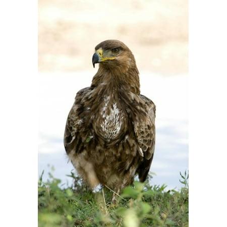 Tawny Eagle - Close-up of a Tawny eagle (Aquila rapax) Ndutu Ngorongoro Tanzania Stretched Canvas - Panoramic Images (16 x 24)