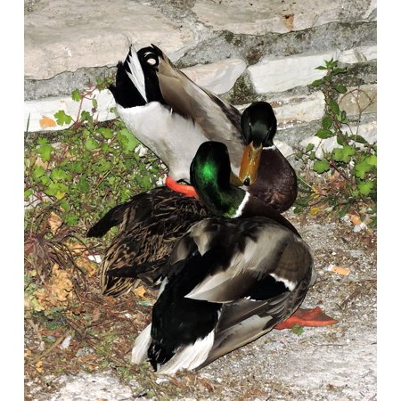 LAMINATED POSTER Duck Love Animals Couple Bird Poster Print 24 x 36 ()