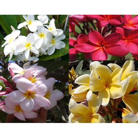 Set of 4 100% Hawaiian Plumeria (Frangipani) Plant Cuttings  Discount Hawaiian GIfts (Hawaiian Center)