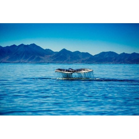 Grey Whales, Whale Watching, Magdalena Bay, Mexico, North America Print Wall Art By Laura Grier